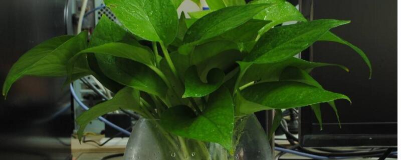 水培绿萝叶片发黄怎么办