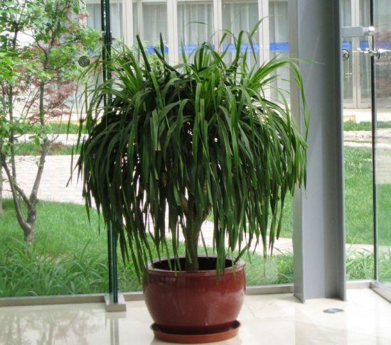 室内的龙血树盆栽图片
