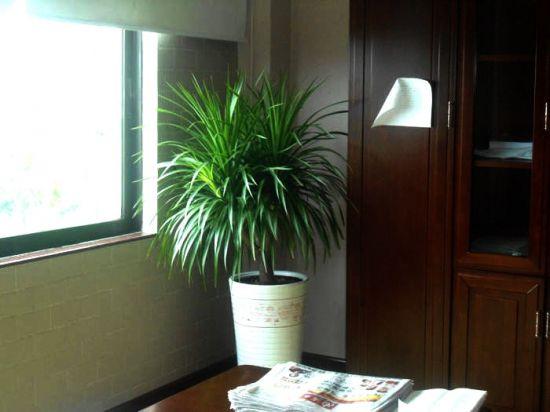 办公室里的龙血树图片