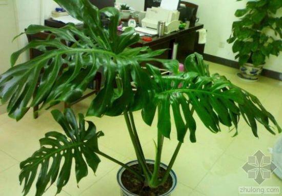 办公室中的龟背竹