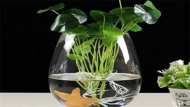 如何水培绿萝?水培绿萝的方法步骤