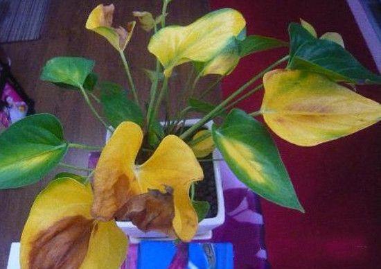 金钻叶子发黄怎么办?金钻叶子发黄的原因及解决方法