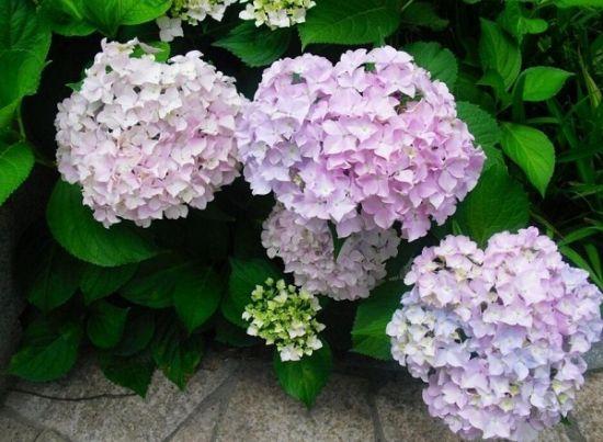 绣球花怎样过冬:绣球花不耐寒冬季养护环境温度不低于5℃