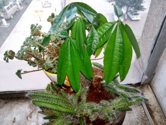 发财树叶子耷拉下来怎么办:找准病因对症下药