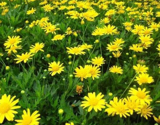 菊花什么时候开花?菊花品种和开花时间大全