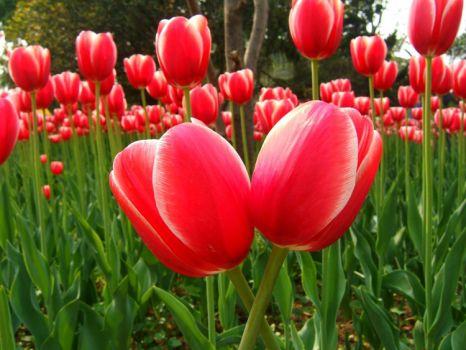 种植的郁金香