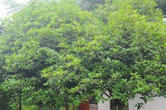 桂花树不宜种在哪里?医院和室内不可种植