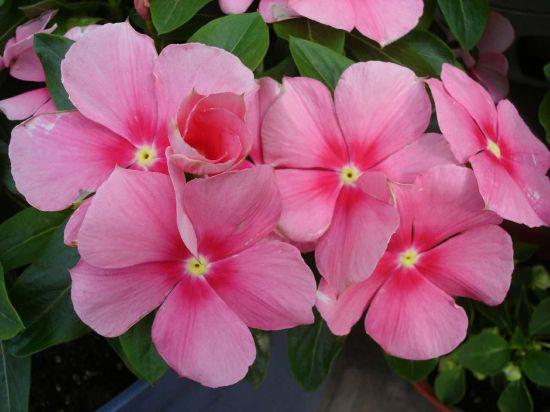 大花天竺葵