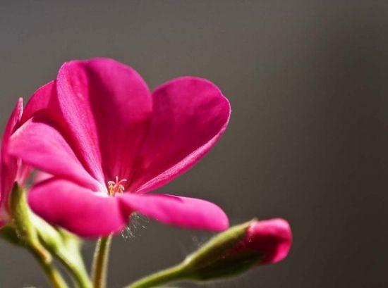 俊美的天竺葵图片