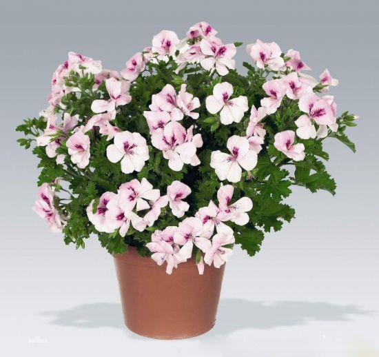 天竺葵盆栽图片