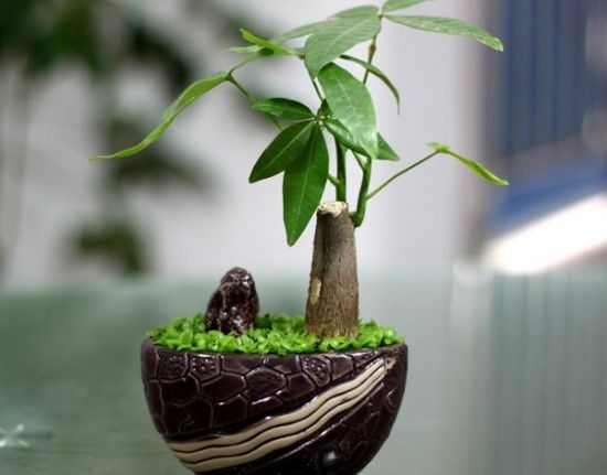 发财树盆景赏析(二)