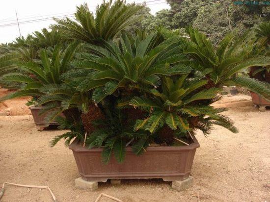盆栽铁树叶片为何又瘦又长