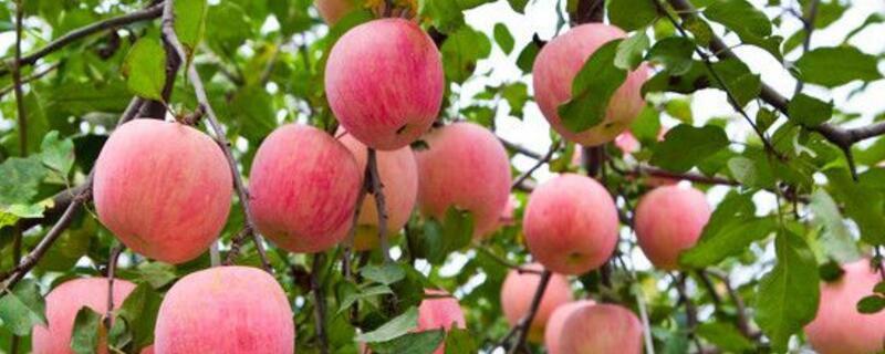 一亩地种多少苹果树?70~75棵苹果树