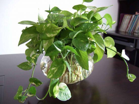 会议桌上的绿萝图片