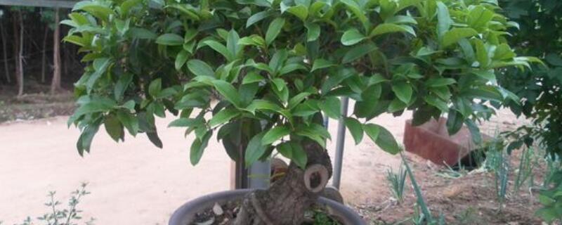 桂花树移栽成活逐渐恢复绿色
