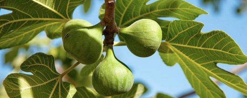 无花果树养殖方法