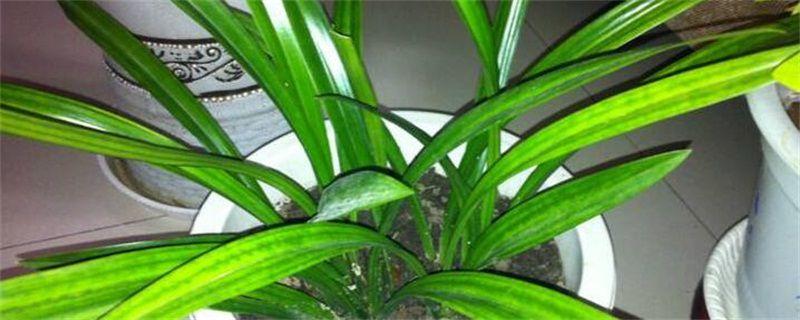 兰草的养殖方法和注意事项