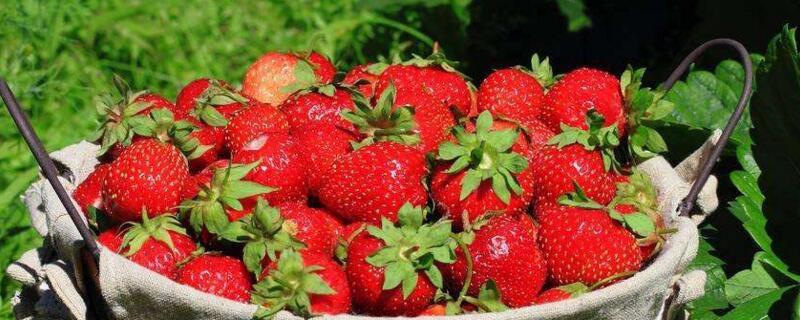 一亩大棚草莓种植利润能有多少?1~3万元