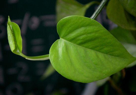 绿萝叶子特写图片