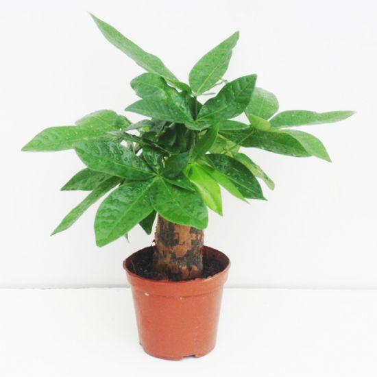 叶子健康的发财树