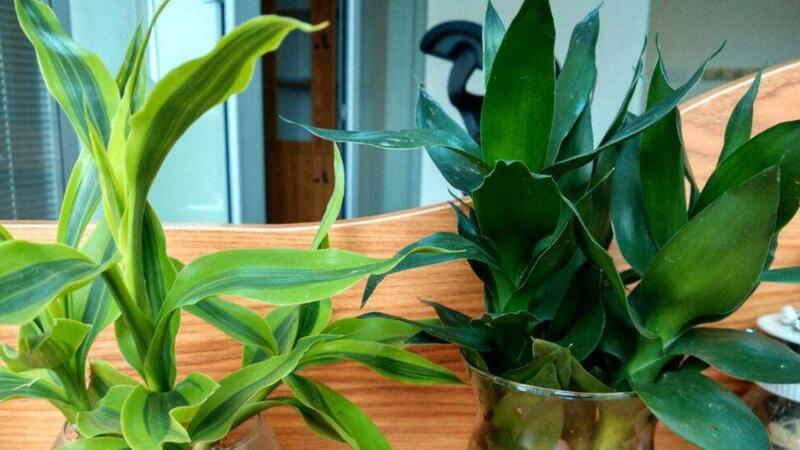 富贵竹怎么养才能更绿