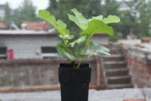 盆栽无花果怎么养?盆栽无花果的种植方法