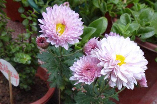 四季菊为什么不开花了?掌握四个要点让四季菊花开满盆