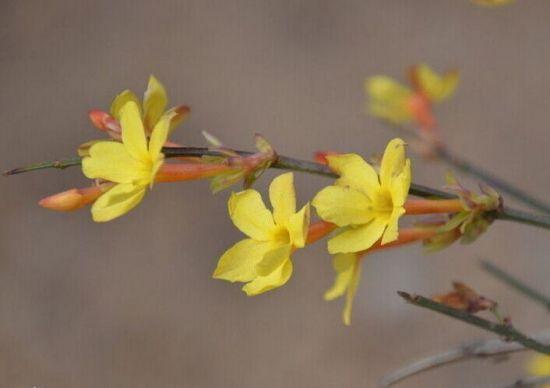 漂亮的迎春花