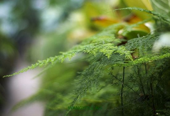 文竹有哪些品种?不同品种文竹图片大全