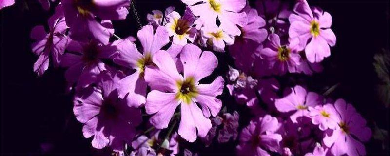 樱草的花语及传说