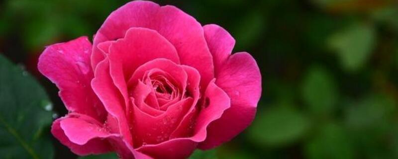 玫瑰花多少钱一朵