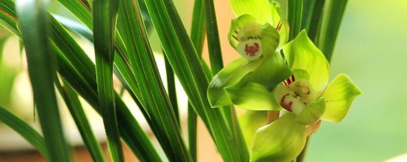 中国兰指的是哪些兰花?是这六种兰花品种