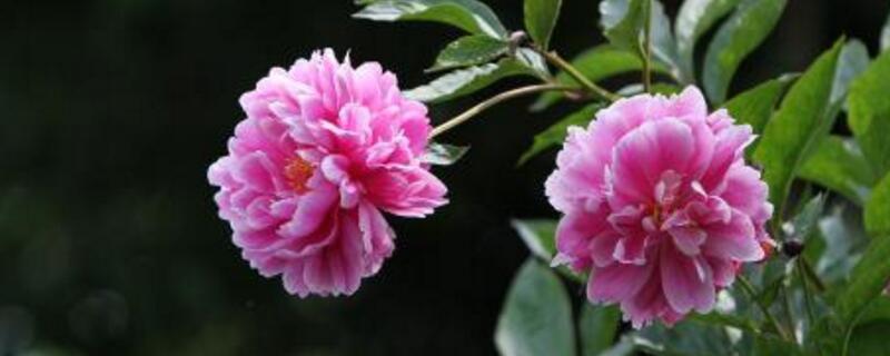 芍药和牡丹月季的区别