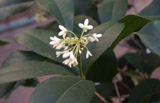四季桂开的花