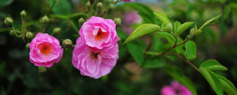 蔷薇花有哪些品种?十大品种蔷薇花图片