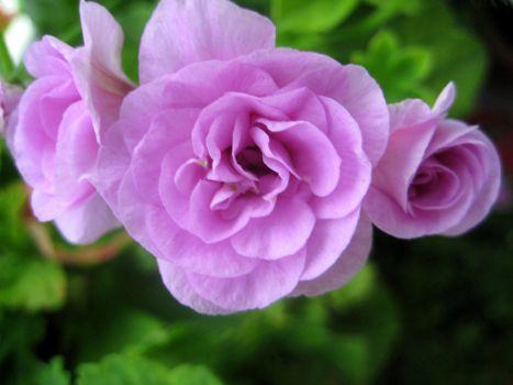 粉红色玫瑰天竺葵