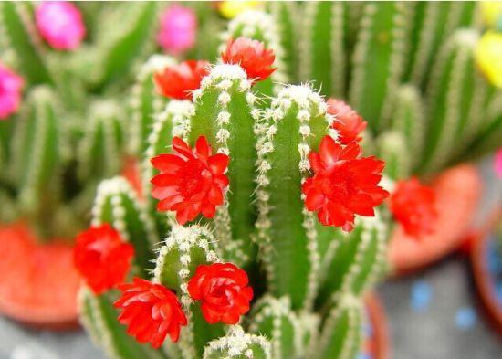 仙人掌类植物