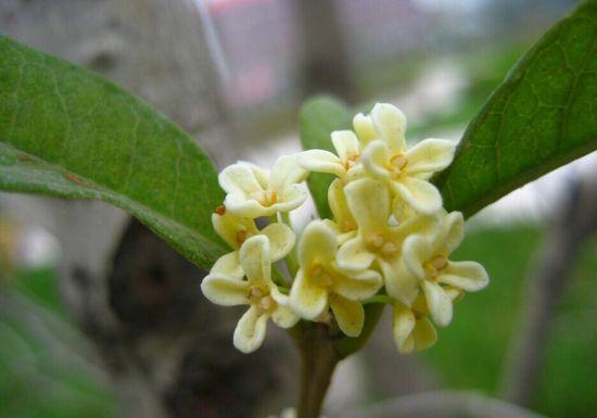 四季桂的花香稍淡