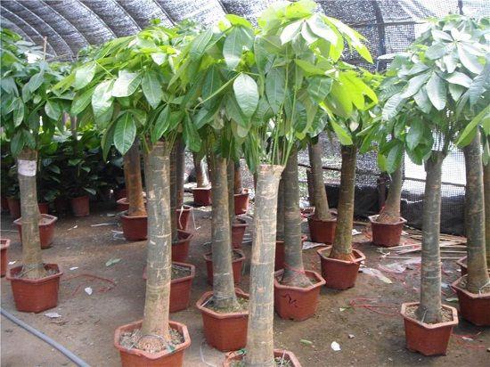 发财树烂根怎么补救?发财树烂根的原因及解决办法