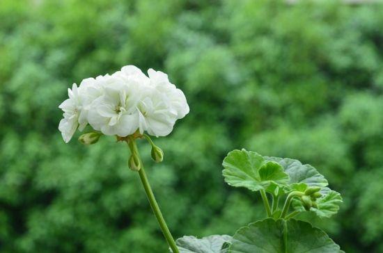 天竺葵的种植方法