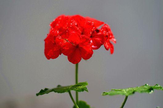 天竺葵欣赏