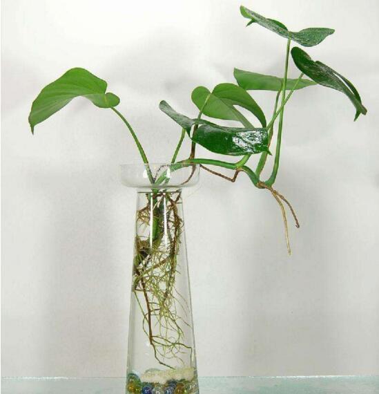 水培绿萝怎么生根快,水培绿萝加什么药生根(4种)