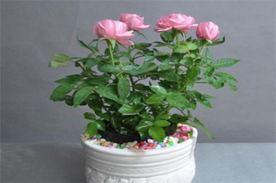 月季花可以浇茶叶水吗?不可以(附带养殖方法