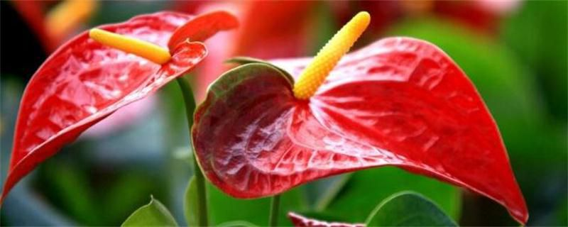 红掌不开花是什么原因