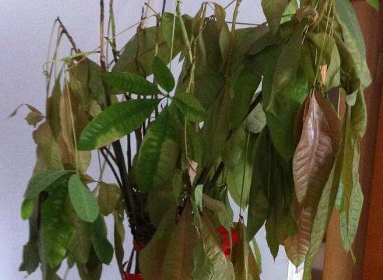 发财树新叶子枯萎脱落的原因和解决方法