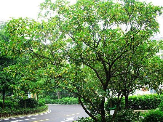飘香的桂花树
