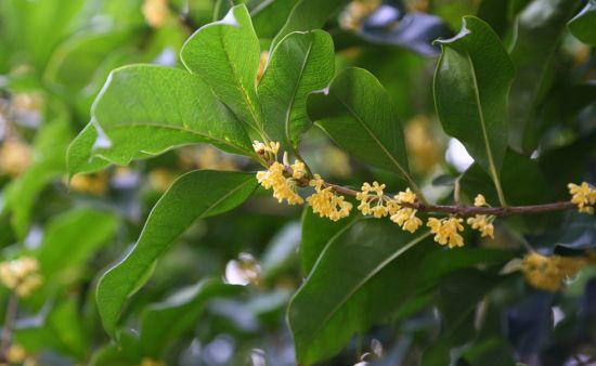 喜光的桂花树