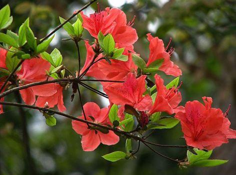 红色杜鹃花