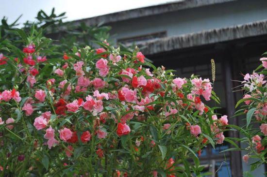 群花灿烂的指甲花