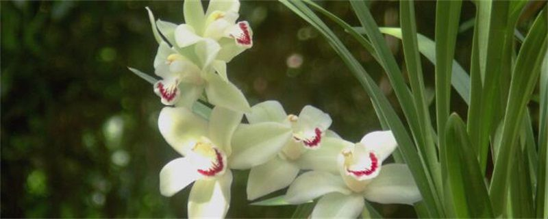 家里养兰花有什么好处?家里养兰花的五大好处